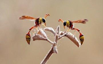 ветка, крылья, насекомые, лапки, оса, осы