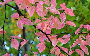 ветка, природа, листья, макро, фон, осень