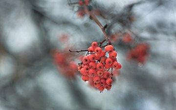 ветка, природа, макро, фон, капли, ягоды, рябина
