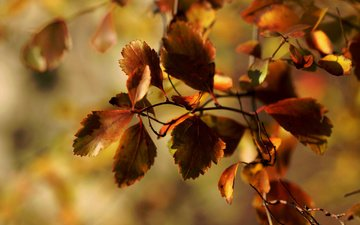 ветка, листья, макро, листва, осень, janet photography