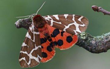 ветка, насекомое, узор, бабочка, крылья, моль