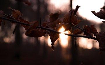ветка, солнце, лес, листья, осень