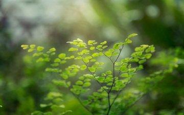 ветка, зелень, листья, макро, растение, венерин волос
