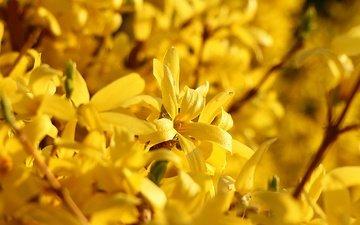 цветы, ветки, весна, растение, желтые, форзиция