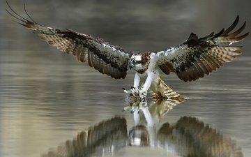 вода, крылья, птица, перья, когти, охота, скопа