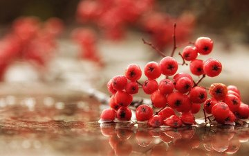 water, macro, autumn, rain, berries, rowan