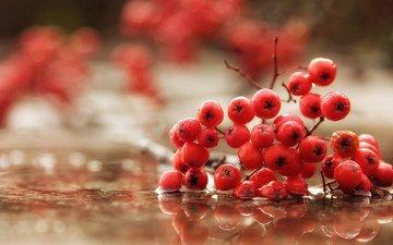 вода, макро, осень, дождь, ягоды, рябина
