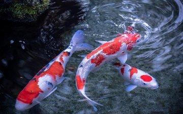 вода, рыбы, пятна, разводы, плавники, японский карп