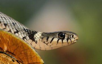 взгляд, уж, змея, бревно, голова, обыкновенный уж