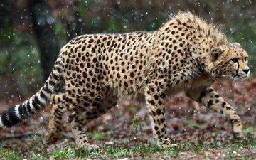 взгляд, хищник, охота, гепард, наблюдение