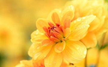 цветы, желтый, макро, капли, георгин