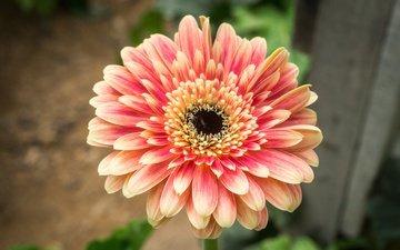 природа, цветок, лепестки, гербера