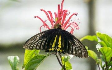 природа, насекомое, цветок, бабочка