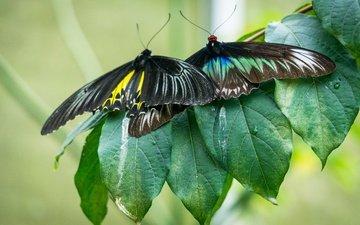 природа, листья, макро, насекомые, бабочки