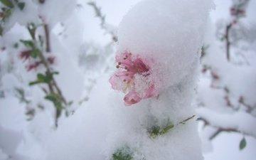 цветы, снег, природа, фон
