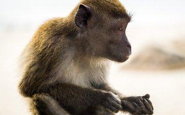 профиль, животное, обезьяна, примат, макака