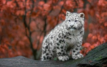 autumn, predator, big cat, snow leopard, irbis, cub