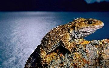 ящерица, новая зеландия, пресмыкающееся, гаттерия, туатара, клювоголовые