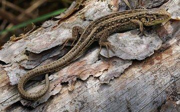природа, фон, ящерица, рептилия, пресмыкающееся, andré de kesel