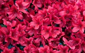 цветы, лепестки, азалия, рододендрон