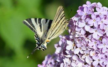 цветение, насекомое, бабочка, весна, сирень