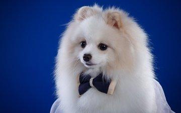 пушистый, белый, собака, щенок, бантик, шпиц