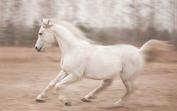 horse, white, mane, running, jump