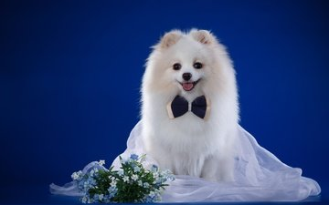 smile, white, dog, forget-me-nots, breed, bow, veil, spitz