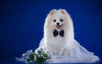 улыбка, белый, собака, незабудки, порода, бантик, вуаль, шпиц