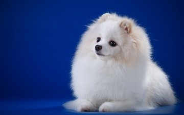 глаза, мордочка, взгляд, белый, собака, порода, шпиц