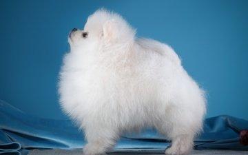 белый, собака, профиль, шпиц