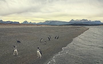 берег, море, пляж, птица, пингвины