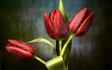 цветы, бутоны, капли, красные, тюльпаны, трио