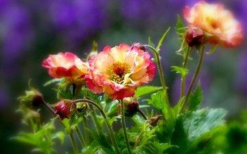 цветы, бутоны, лепестки, боке, гравилат
