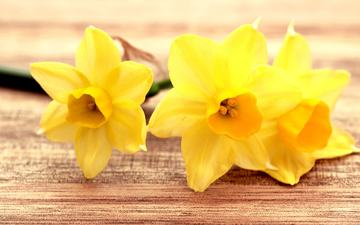 цветы, бутоны, лепестки, нарциссы