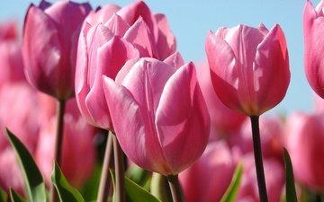 цветы, бутоны, макро, весна, тюльпаны, розовые