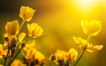 цветы, бутоны, макро, желтые, лютики