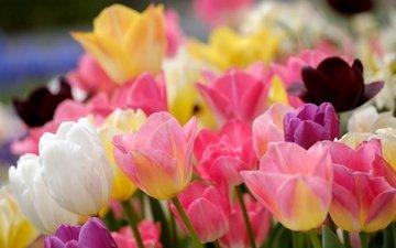 цветы, бутоны, разноцветные, весна, тюльпаны