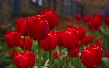 цветы, бутоны, весна, тюльпаны, красные тюльпаны