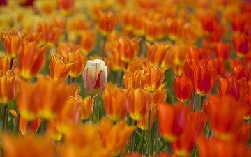 цветы, бутоны, весна, тюльпаны, много, боке