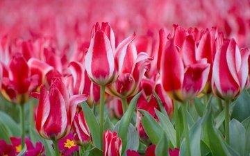 цветы, бутоны, весна, тюльпаны, примула