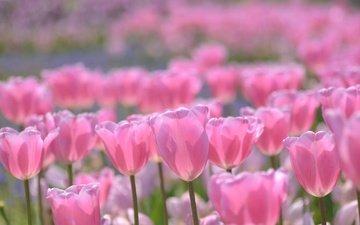 цветение, бутоны, весна, тюльпаны, розовые, боке