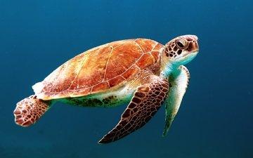 черепаха, панцирь, океан