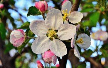 flowering, leaves, macro, flower, petals, bud, spring, apple