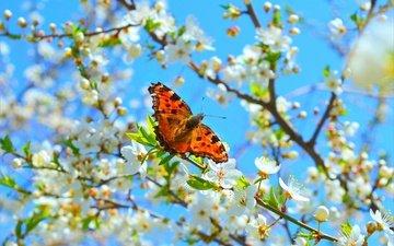 цветение, макро, насекомое, бабочка, весна