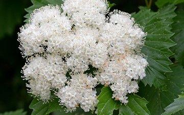 цветы, цветение, весна, белая, калина