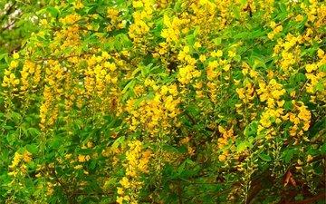цветение, весна, акация, желтые цветы