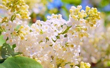 цветение, весна, белая, сирень