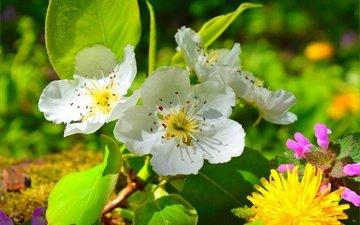цветение, весна, одуванчик, яблоня