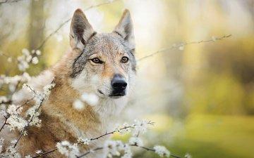 цветение, ветки, собака, чехословацкая волчья, чехословацкий влчак, chinua